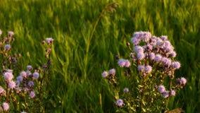 Il piccolo fiore porpora di una pianta del cardo selvatico archivi video