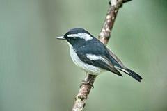 Piccolo Flycatcher pezzato immagini stock libere da diritti