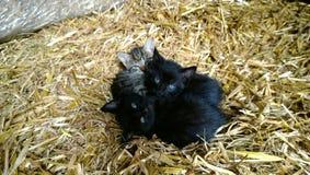 Il piccolo gattino adorabile tre è premuto faccia a faccia sulla paglia nel villaggio fotografia stock