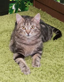Il piccolo gattino del soriano con giallo osserva la menzogne, sembrante sorpresa Fotografia Stock Libera da Diritti