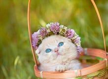 Il piccolo gattino ha incoronato con un sopporto per anima del trifoglio Immagini Stock