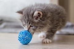 Il piccolo gattino lanuginoso del procione lavatore di Grey Persian Maine sta giocando con la piccola palla blu Gattino, animali  immagini stock