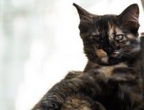 Il piccolo gattino marrone nero si siede sul pavimento e sull'esame della macchina fotografica Immagini Stock