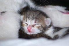 Il piccolo gattino minuscolo dorme in pelliccia del ` s della mamma Immagine Stock
