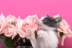 Il piccolo gatto morde le rose del fiore su un fondo rosa Fotografie Stock