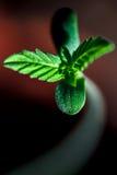 Il piccolo germoglio della canapa Fotografie Stock Libere da Diritti