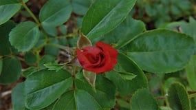 Il piccolo germoglio della rosa rossa immagine stock libera da diritti