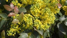 Il piccolo giallo fiorisce il mahonia stock footage