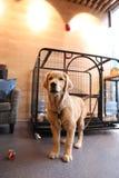 Il piccolo golden retriever Fotografia Stock Libera da Diritti
