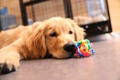 Il piccolo golden retriever Fotografie Stock