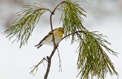 Il piccolo goldfitch giallo si siede su un ramo del pino Fotografia Stock
