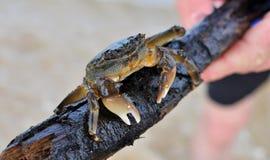 Il piccolo granchio australiano ha trovato nell'acqua di mare Immagine Stock