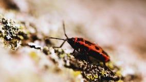 Il piccolo insetto rosso inoltre ha chiamato il firebug archivi video