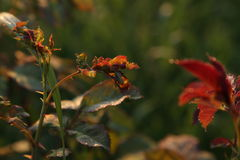 Il piccolo insetto su è aumentato foglie all'alba Fotografia Stock Libera da Diritti