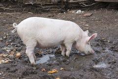 Il piccolo maiale mangia la condizione nel fango Fotografia Stock Libera da Diritti