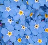 Il piccolo nontiscordardime blu fiorisce la priorità bassa Immagine Stock