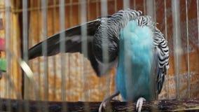 Il piccolo pappagallino ondulato blu che si siede in una gabbia e pulisce le piume archivi video