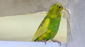 Il piccolo pappagallo ondulato verde giallo, sedentesi su un ramo, rosicchia gli strappi graffia la parete, inducente il danno ad fotografie stock