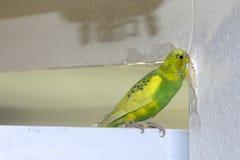 Il piccolo pappagallo ondulato verde giallo, sedentesi su un ramo, rosicchia gli strappi graffia la parete, inducente il danno ad fotografia stock