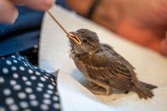 Il piccolo passero danneggiato è alimentato a mano da una donna anziana fotografia stock