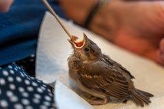 Il piccolo passero danneggiato è alimentato a mano da una donna anziana fotografia stock libera da diritti