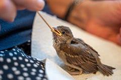 Il piccolo passero danneggiato è alimentato a mano da una donna anziana immagine stock