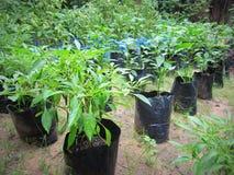 Il piccolo peperoncino rosso pianta la coltivazione Fotografie Stock