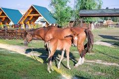 Il piccolo puledro del cavallo e sua madre si alimentano ad erba verde Fotografie Stock