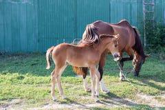 Il piccolo puledro del cavallo e sua madre si alimentano l'erba foraggera Fotografie Stock