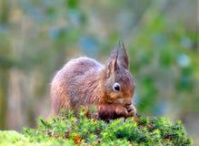 Il piccolo scoiattolo rosso sta sgranocchiando su una nocciola mentre si sedeva nella foresta Fotografia Stock
