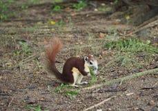 Il piccolo scoiattolo sta mangiando un'erba immagine stock