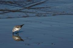Il piccolo shorebird Fotografia Stock