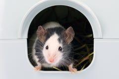 Il piccolo topo che lo esce è foro Immagine Stock