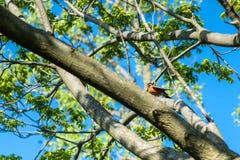 Il piccolo uccello che il nome è migratorius di Robin Turdus dell'americano sull'albero di fioritura della molla immagine stock