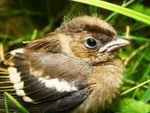 Il piccolo uccello ha volato dal nido Immagine Stock Libera da Diritti