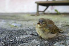 Il piccolo uccello sul grey si sviluppa Immagini Stock Libere da Diritti