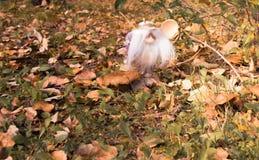 Il piccolo uomo magico con un cucchiaio di legno nel legno di autunno Fotografia Stock Libera da Diritti