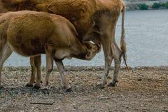 Il piccolo vitello beve il latte dalla mucca immagine stock libera da diritti
