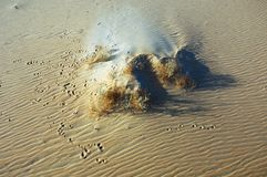 Il piede di coniglio stampa sulla sabbia intorno alle piante nel deserto del ` A dello sfregamento Fotografia Stock