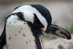 Il pinguino africano preens Fotografie Stock
