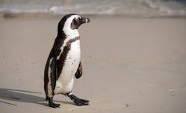 Il pinguino africano sulla sabbia ai massi tira a Cape Town, Sudafrica immagini stock libere da diritti