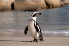 Il pinguino africano sulla sabbia ai massi tira a Cape Town, Sudafrica fotografia stock libera da diritti