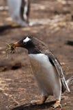 Femmina del pinguino di Gentoo Fotografie Stock