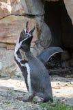 Il pinguino di Humboldt apre il suo becco al cielo fotografia stock libera da diritti