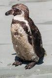 Il pinguino di Humboltd Fotografia Stock Libera da Diritti