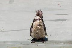 Il pinguino di Humboltd Immagini Stock