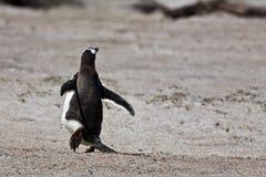 Il pinguino di Magellanic esaurisce la macchina fotografica Immagine Stock Libera da Diritti
