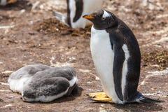 Il pinguino femminile con due pulcini Immagini Stock