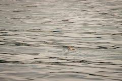 Il pinguino nuota via sul mare calmo con lo spazio della copia negativa immagine stock