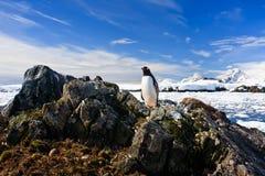 Il pinguino protegge il suo nido Fotografia Stock Libera da Diritti